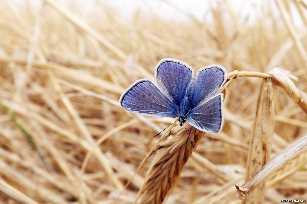 butterfly on barley