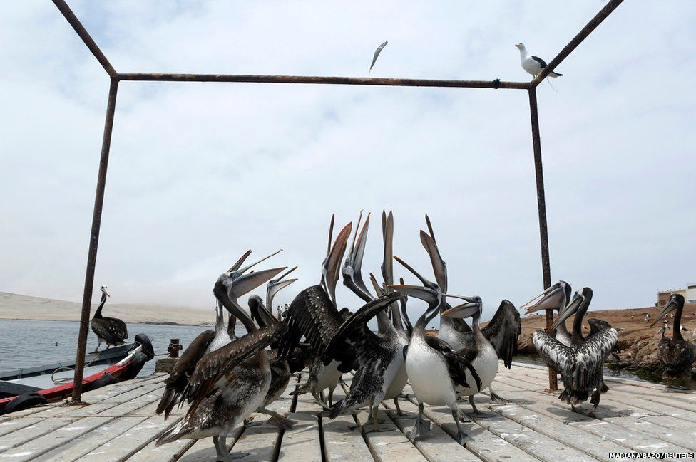 Pelicans try to catch a fish thrown by a fisherman in Paracas National Reserve