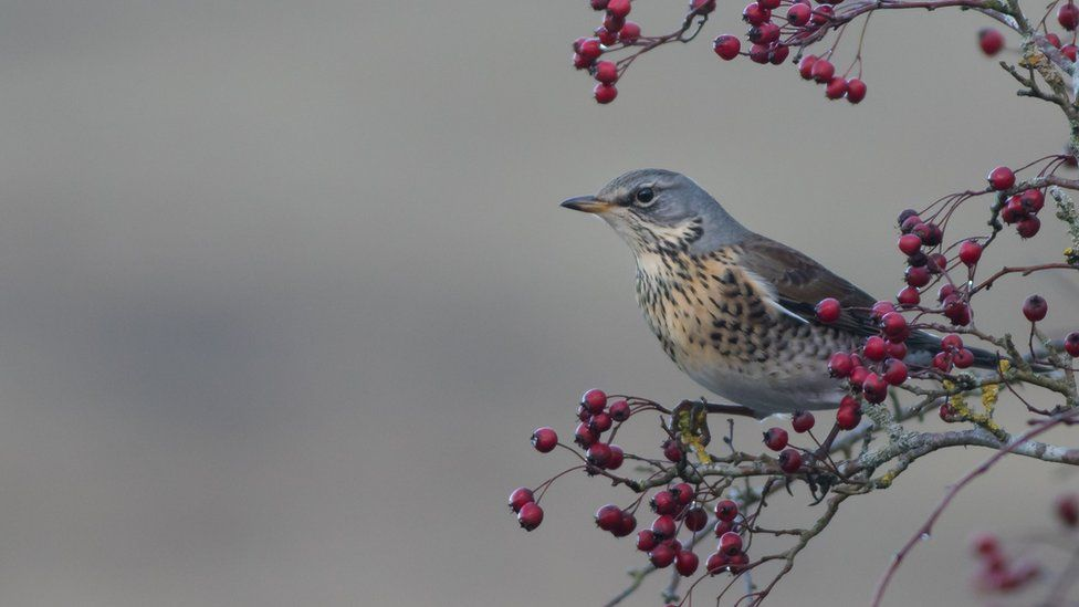 Steven Nelmes took this shot of a Fieldfare