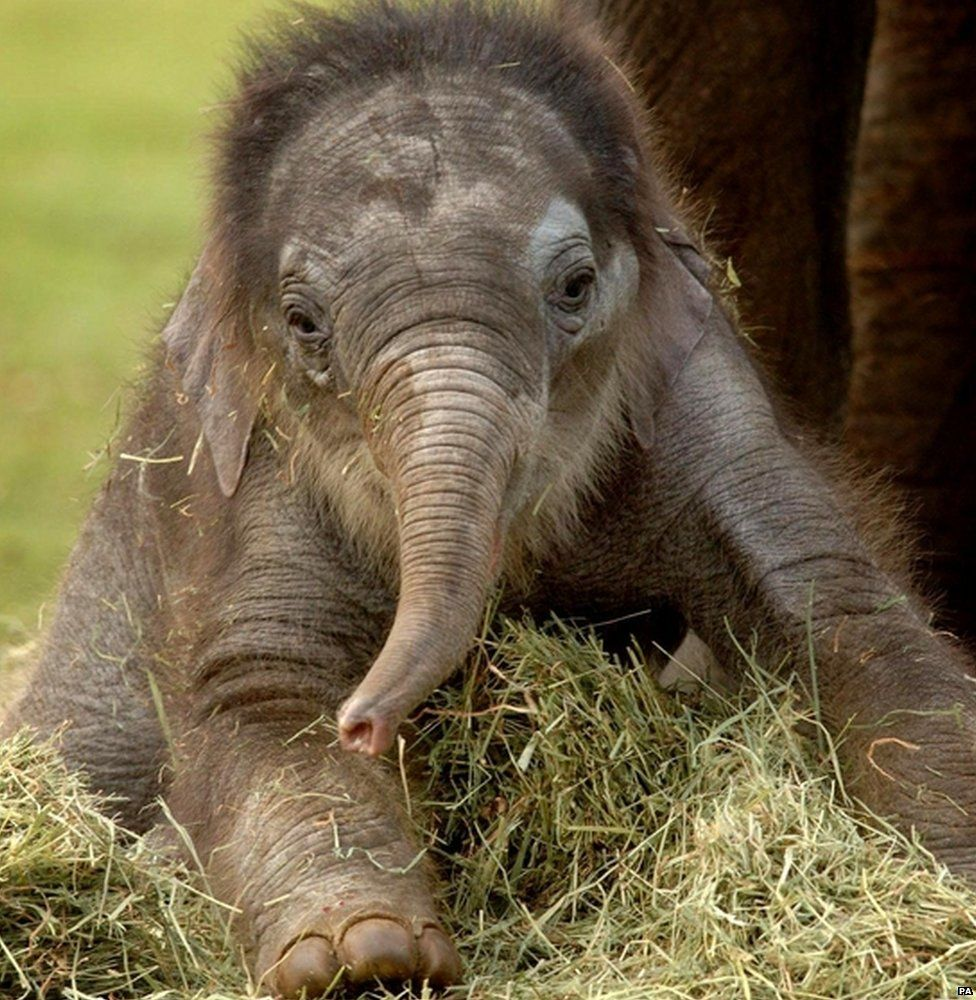 The Asian elephant, a relative of the mammoth