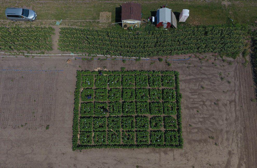 GM crop