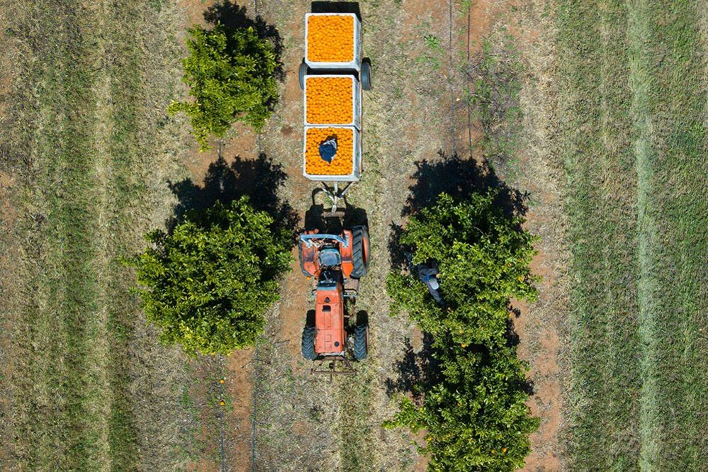 Oranges in a tractor as seen from a drone