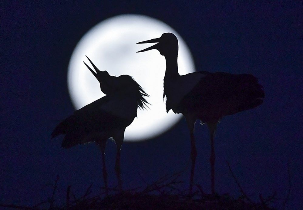 The pink supermoon rises behind the storks in their nest