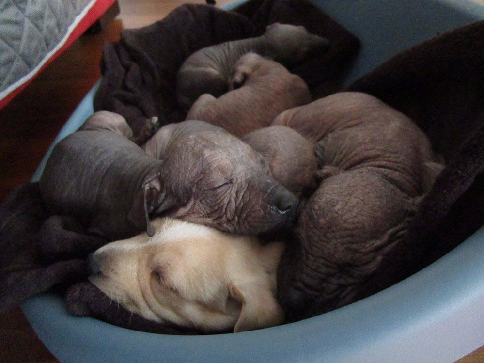 Six Mexican Xoloitzcuintle dogs