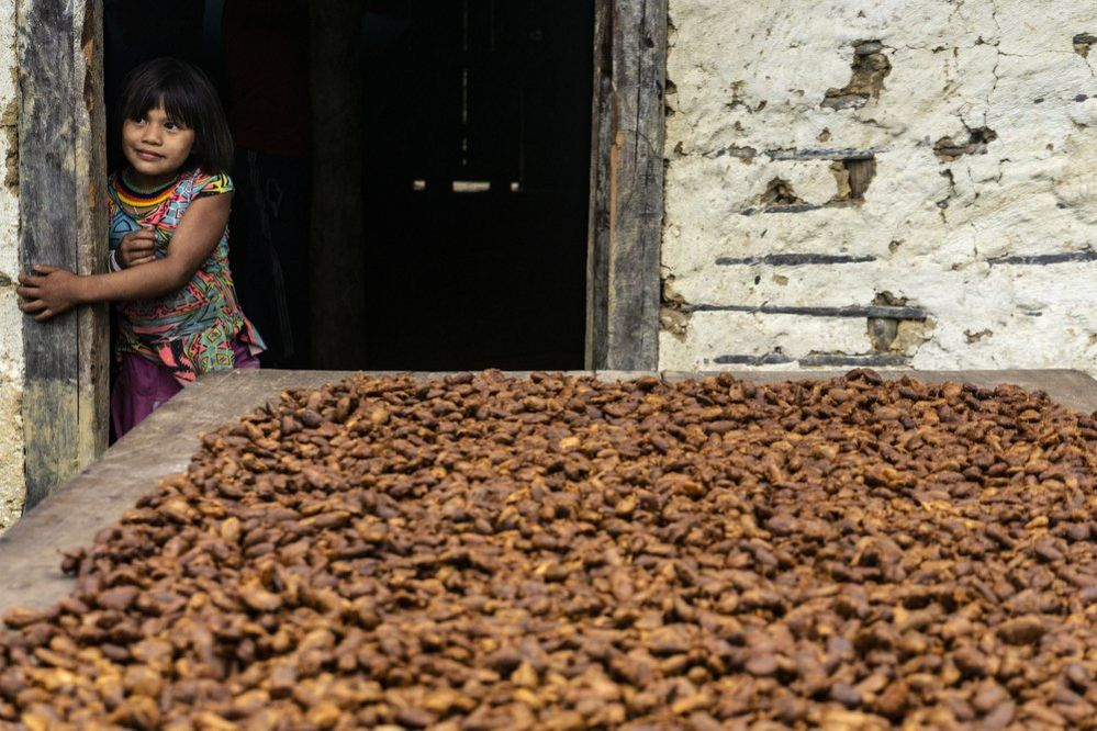 The cocoa seeds are dried in the sun