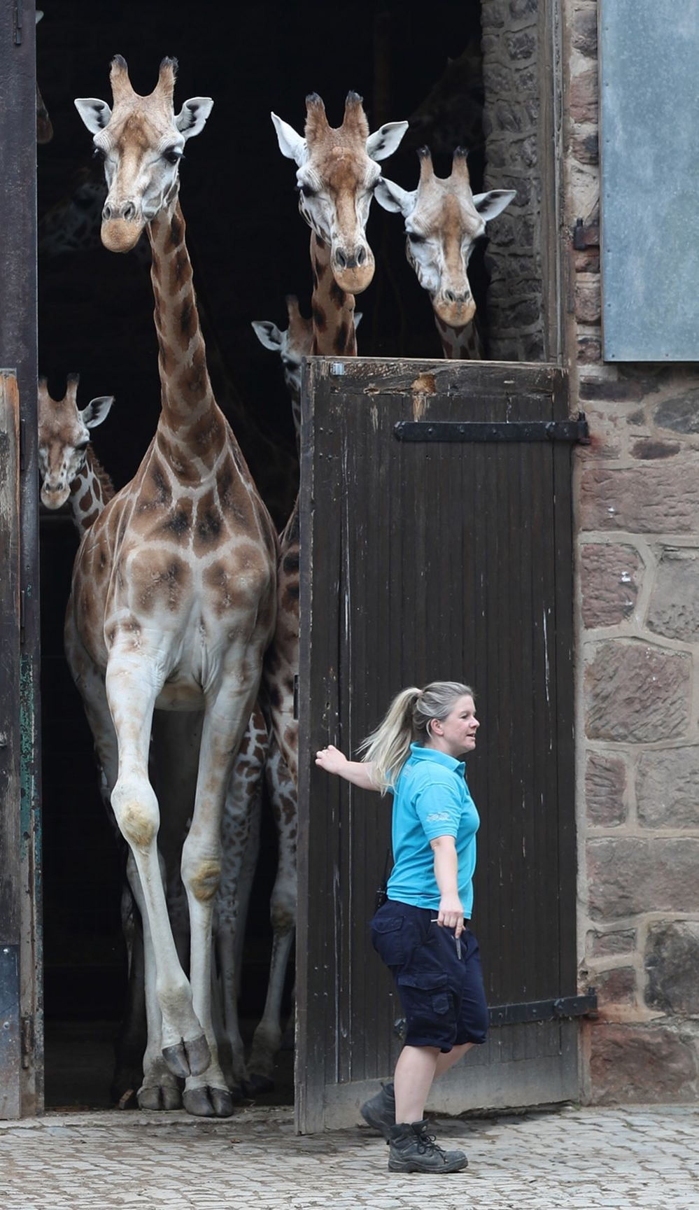 Giraffes at the Chester Zoo