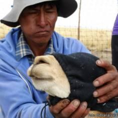 Captura de vicuñas en Santa Catalina