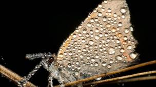 Mariposa nocturna cubierta de rocío
