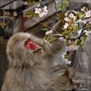 Un mono macaco en el zoológico Ueno de Tokio