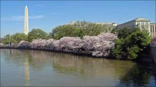 Cerezos sobre la Bahía del Río Potomac (Foto: Carlos Chirinos)
