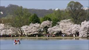 Floración de los cerezos en plenitud (Foto: Carlos Chirinos)