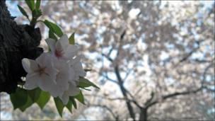 Una flor de cerezo (Foto: Carlos Chirinos)
