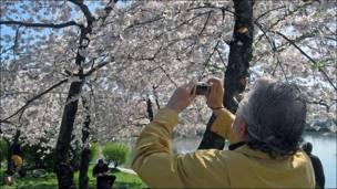 Hombre fotografiando los cerezos (Foto: Carlos Chirinos)