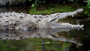 Un cocodrilo en un lago artificial de Costa Rica