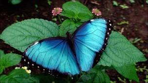 Una mariposa azul en los jardines de un hotel de Costa Rica