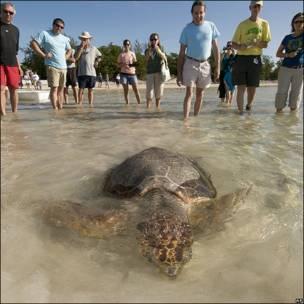 La tortuga Pa es devuelta al mar en los cayos de Florida