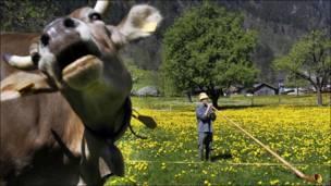 Пастух и корова