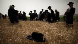 Judíos ultraortodoxos cosechan trigo en Mevo Horon, Israel