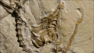 Окаменевший скелет древней дино-птицы