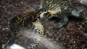 Tortuga carey en un estanque en Singapur