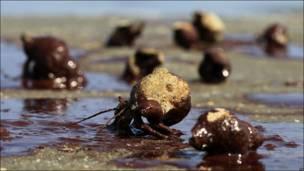 Cangrejos manchados de petróleo