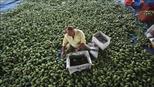 Jornalero indio llena cajas de mangos