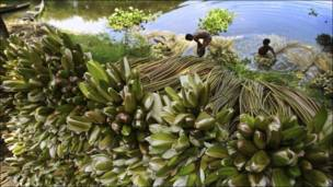 Agricultores laban nenúfares en Bangladesh.