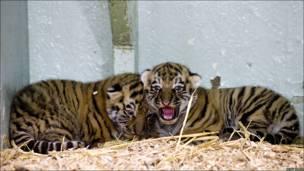 Dos tigres de Siberia