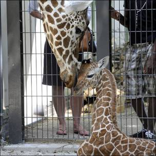 Jirafa recién nacida en el zoo de Artis en Amsterdam