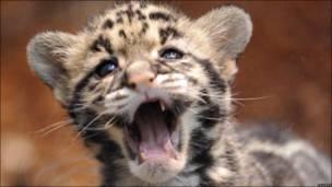 Cachorro de leopardo
