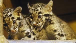 Leopardos sudasiáticos con manchas