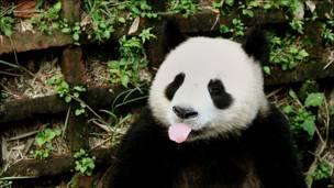 Un panda saca la lengua