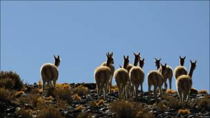 Vicuñas en Argentina