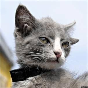 Gato con cuatro orejas