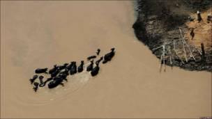 Piño de cabras cruzando un río