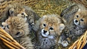 Cachorros guepardo