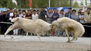 Pelea de ovejas