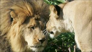 Un león y una leona