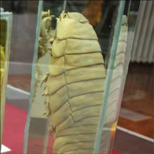 Chanchito gigante (Foto: Universidad Austral de Chile)