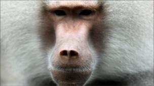 Mono babuino en Múnich