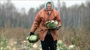 Женщина убюирает кочаны капусты в Белоруссии.
