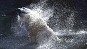 Oso polar en Alemania