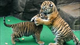 Dos cachorros de tigre -llamados Daseep y Tschuna- juegan en el zoológico de la ciudad alemana de Wuppertal.