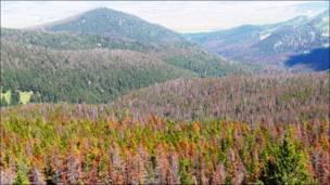 Bosque afectado por el escarabajo descarozador. Foto: Peter Kolb
