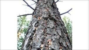 Árbol atacado por el escarabajo descarozador. Foto: Peter Kolb