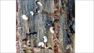 Escarabajos descortezadores. Foto: Peter Kolb