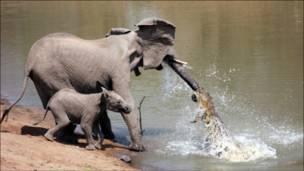 المواجهة بين أنثى الفيل والتمساح