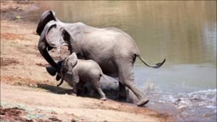 أنثى الفيل تسحب التمساح