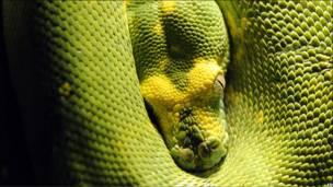 Свернувшаяся клубком змея