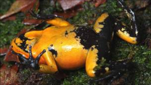 Phyllobates terribilis ©www.proaves.org